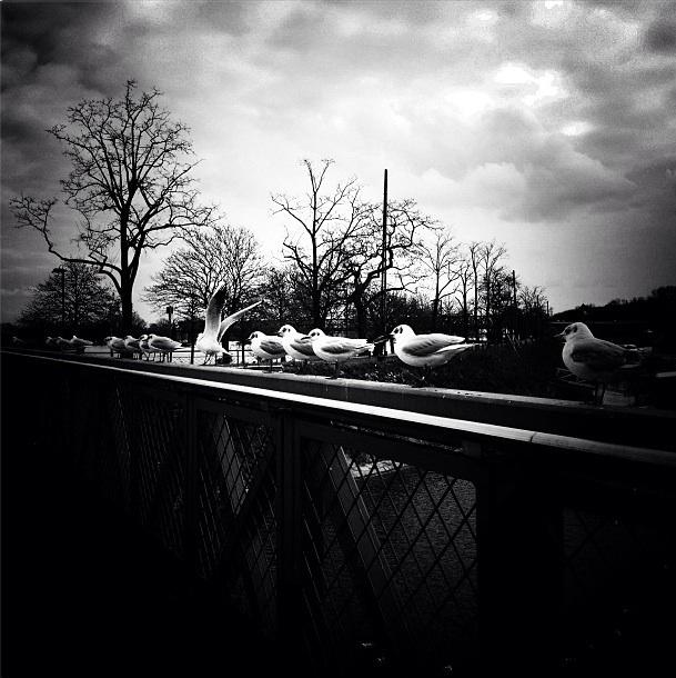 Gaviotas En El Rin